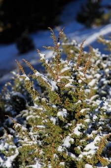 Мелко нарезанная ель со снегом на вершине. флора и природа концепция 2