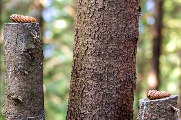 森の切り株に2つの松の木の円錐形