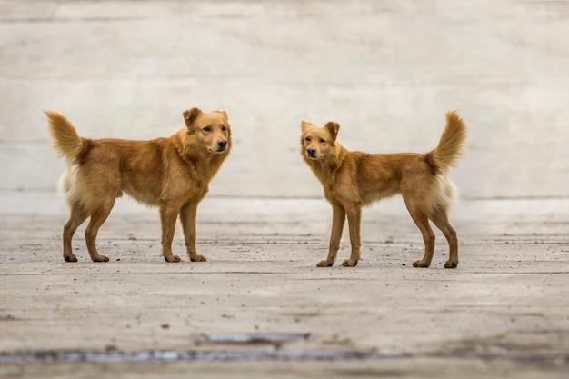 屋外のふくらんでいる尾を持つ2つの黄色い犬ペット