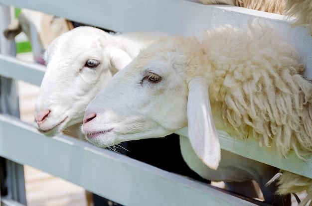 パドックで2つの白い羊