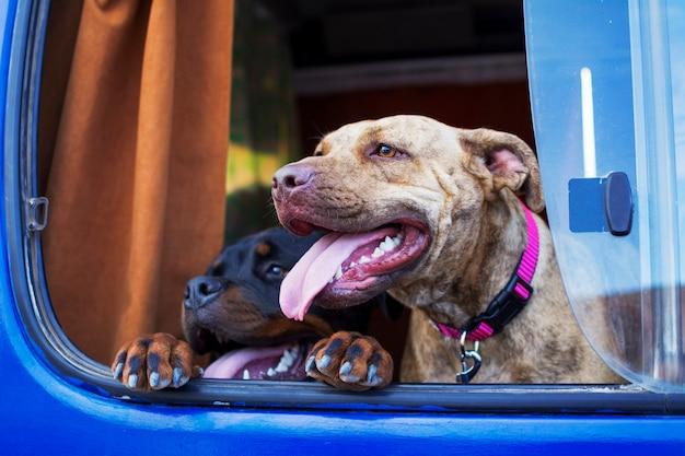 車の窓から頭を突っついている2匹の犬。