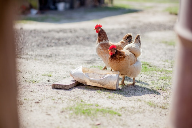 2羽の鶏がボウルから水を飲む