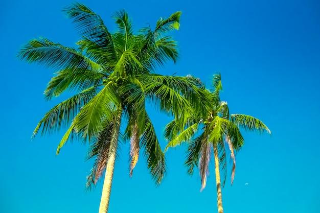 青い空に2つのヤシの木