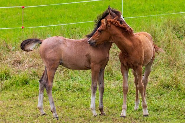 緑の牧草地で遊ぶ2つの美しい子馬。馬の子孫