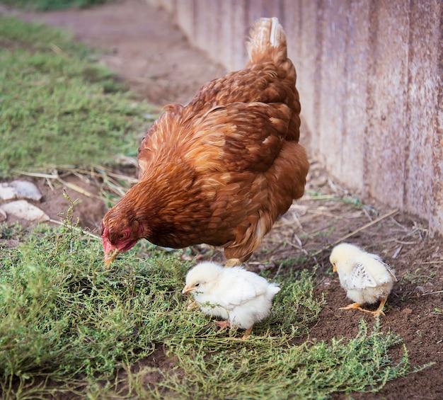 赤い鶏と2羽の鶏