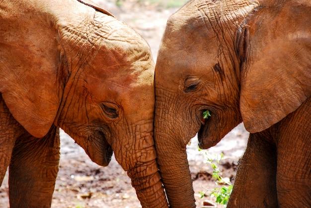 一緒に2つの象