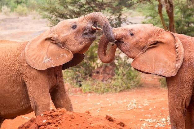 アフリカ、ケニア、ナイロビの象の孤児院で遊ぶ2つの小さな赤ちゃん象
