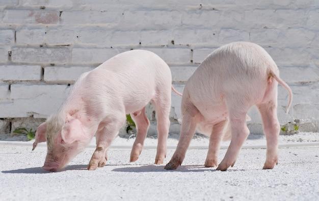 2匹の小さな豚