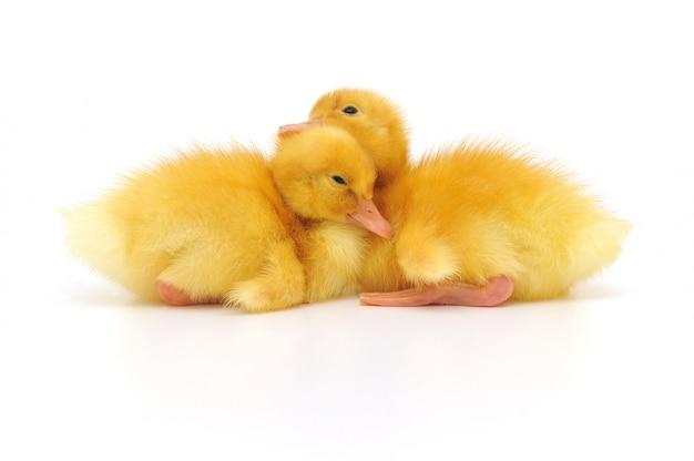 2羽のアヒルの子