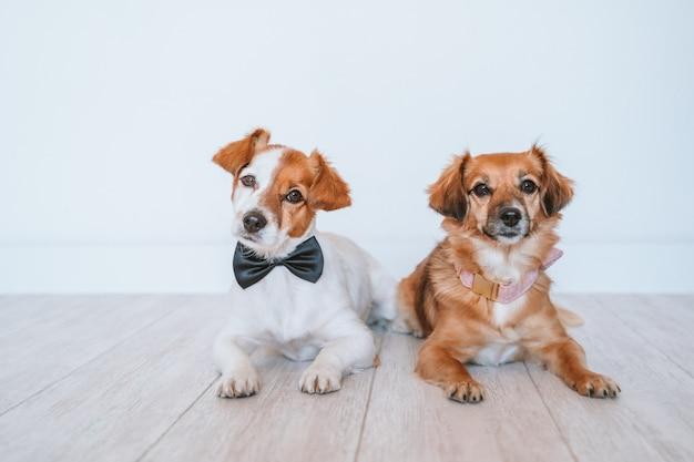 エレガントな蝶ネクタイと襟を着て、自宅の床に横たわっている2匹のかわいい小型犬。友情