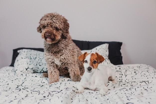 2 друз собаки сидя на кровати дома. милая маленькая белая и коричневая собака и испанская водяная собака. домашние животные в помещении