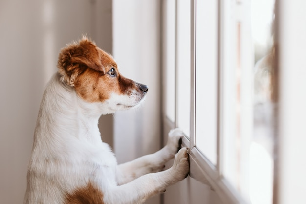 2本の足に立っていると、窓の近くを見てかわいい小型犬