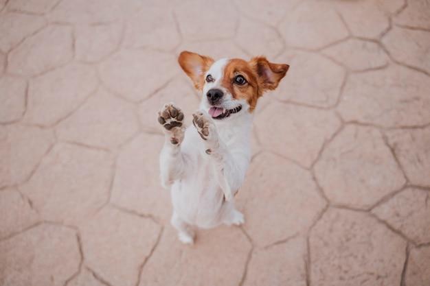 おいしいお菓子を求めて2つの足で歩くかわいい小さなジャックラッセルテリア犬。屋外でのペットとライフスタイル