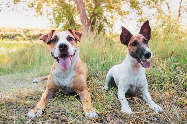屋外の2つの面白い犬。スタッフォードシャーテリアと夏の日の草の中の滑らかなフォックステリア子犬