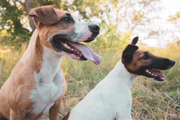 屋外の2つの面白い犬。スタッフォードシャーテリアとスムースフォックステリア子犬は夏の日に草の中に座る