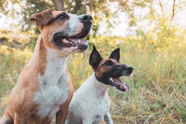 屋外で2匹の面白い犬、最高の毛皮のような友達。スタッフォードシャーテリアとスムースフォックステリア子犬は夏の日に草の中に座る