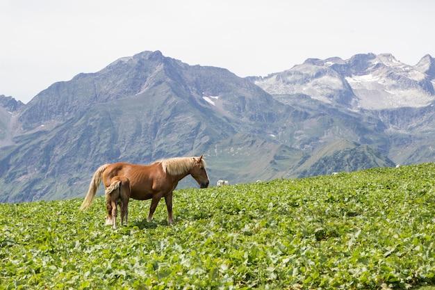スペインのピレネー山脈のバジェデアランで2頭の馬