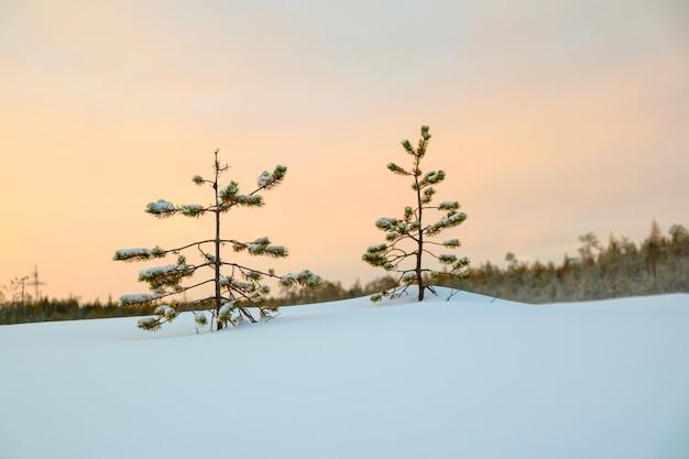 雪の中で2つの若い松