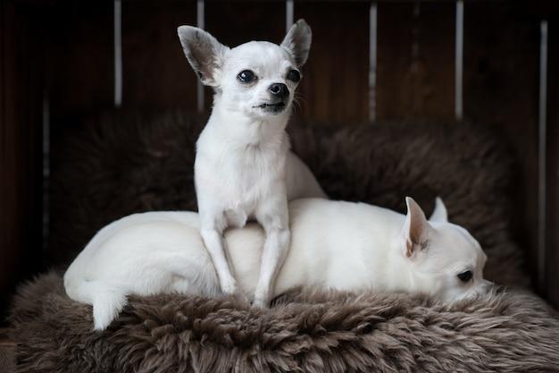 犬小屋のカーペットの上に横たわる2つの面白いチワワ子犬