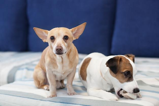 2匹の犬がソファに座って骨を共有しています。目の犬のスモッグ。犬のクローズアップの肖像画。ジャックラッセルテリアと赤犬。犬の友情。アパートの飼い犬。