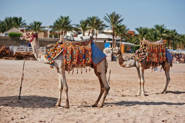 砂のビーチで2つの服を着たラクダ