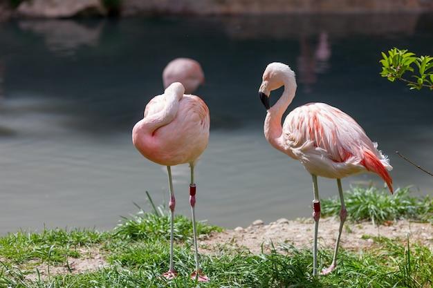 2つのピンクのフラミンゴ