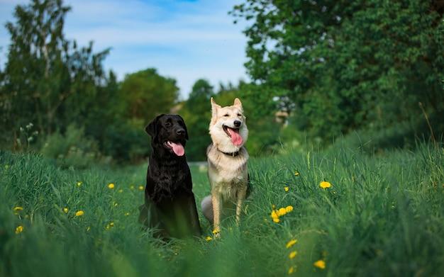 2 собаки шавки сидя на солнечном зеленом луге и смотря камеру.