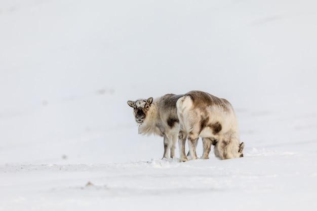 スバールバル諸島、ノルウェーの荒野で雪の中で立っている2匹の動物