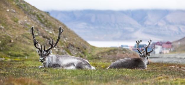 北極圏、スバールバル諸島ロングイェールビーンの前で夜休んでいる2つのトナカイ
