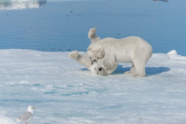 スバールバル諸島の北極海のパックアイスで遊ぶ2つの若い野生のホッキョクグマの子