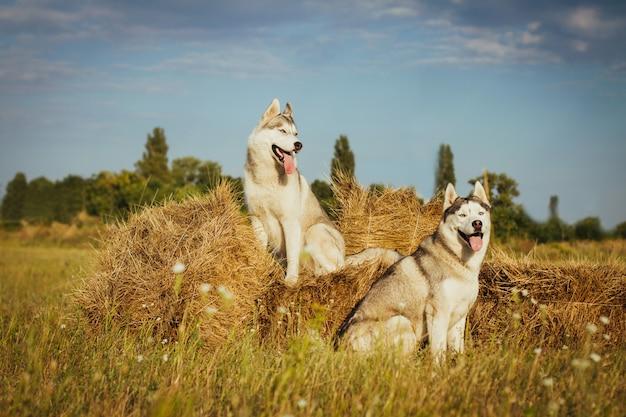 主人を待っている干し草の山の近くに座っている2匹の犬。田舎の背景にシベリアンハスキー。