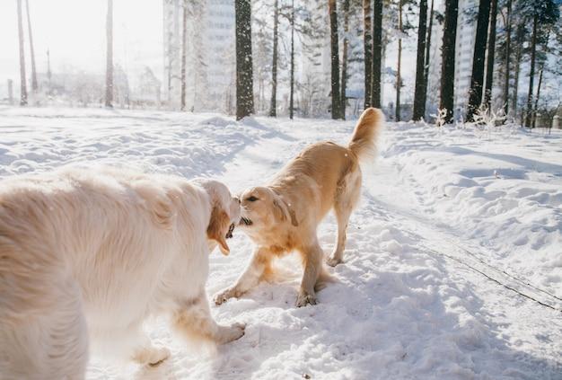 冬の屋外の犬の肖像画。公園で雪で遊ぶ2つの若いゴールデンレトリバー。引っ張りおもちゃ