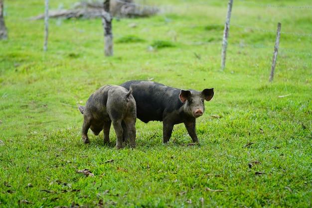 ドミニカ共和国で背景をぼかした写真の芝生のフィールドの上を歩く2つの野生の豚のクローズアップ