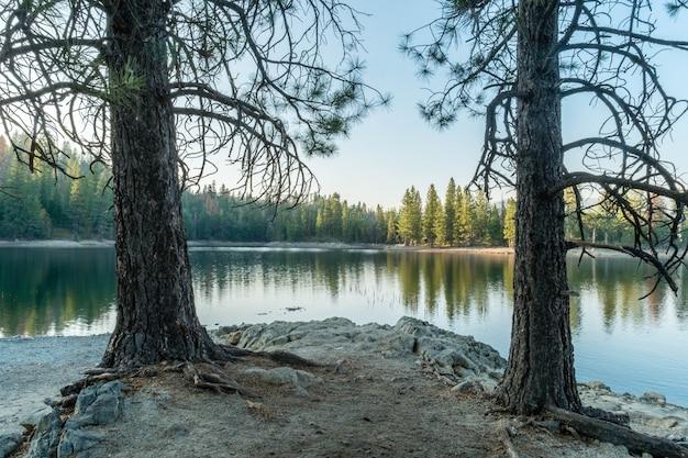 反射の森の美しい湖の近くの2つの木