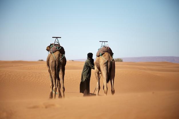 昼間にモロッコの砂漠を歩く男性と2つのラクダのワイドショット