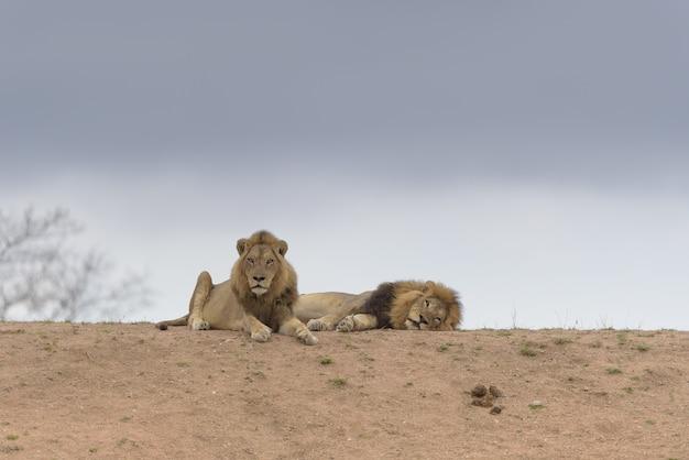 丘の上に横たわる2頭のライオン