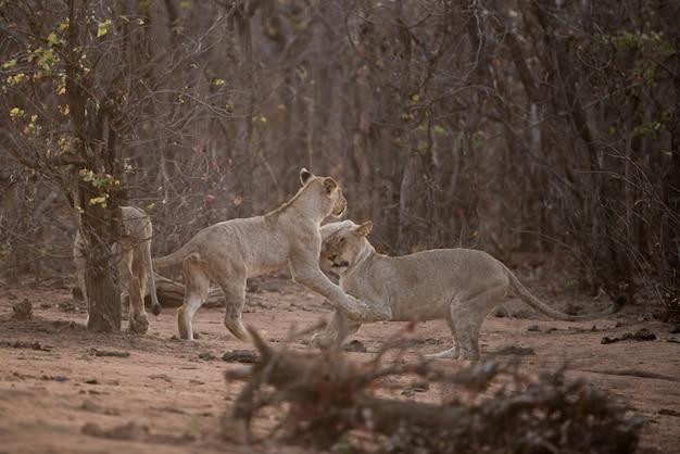 2頭のライオンが互いに遊んで