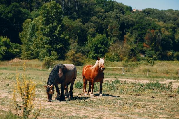 牧草地の2つの美しい馬