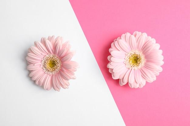 2つのトーンの背景、テキスト用のスペースに美しいガーベラの花