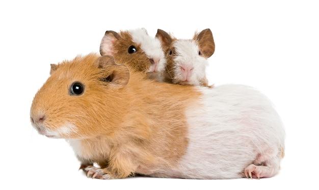 母モルモットと彼女の2人の赤ちゃん