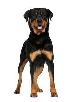 Ротвейлер с 2 лет. портрет собаки изолированный
