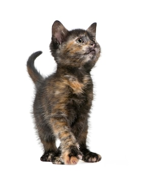 2ヶ月のべっ甲の子猫。