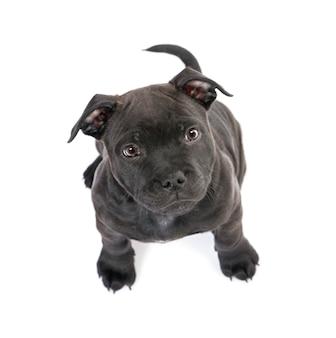 2ヶ月の子犬スタッフォードシャーブルテリア。分離された犬の肖像画