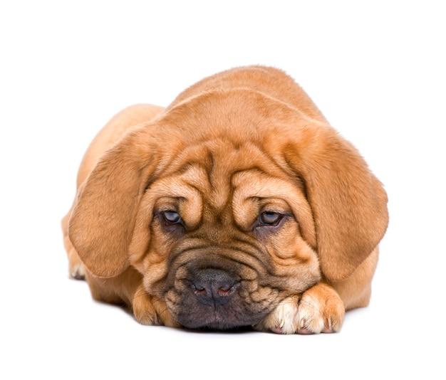 Щенок бордоского с 2 месяца. портрет собаки изолированный