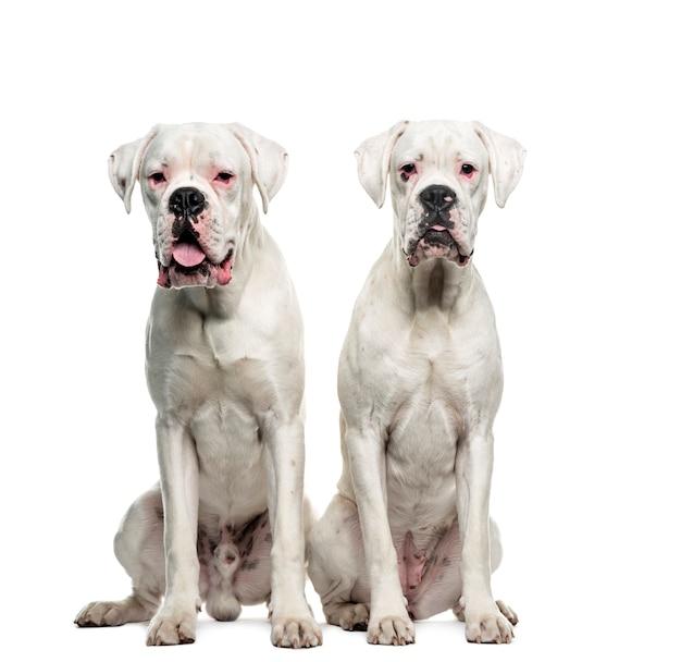 2つの白いボクサー犬が座って、カット