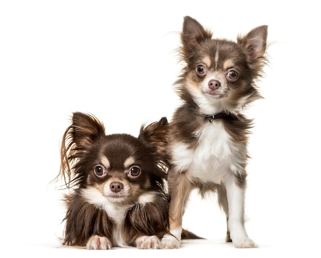 2 собаки чихуахуа лежа и стоя