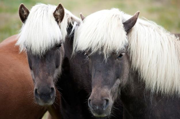 白い馬が付いている2つの茶色のアイスランドの馬