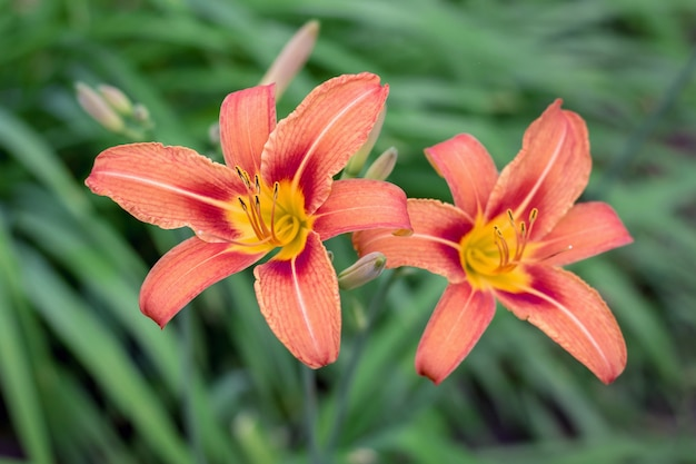 庭に咲く緑の背景にオレンジ色の2つのユリ