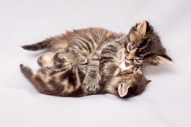 2つの落ち着きのない子猫が遊んでいます。明るい背景上の子猫
