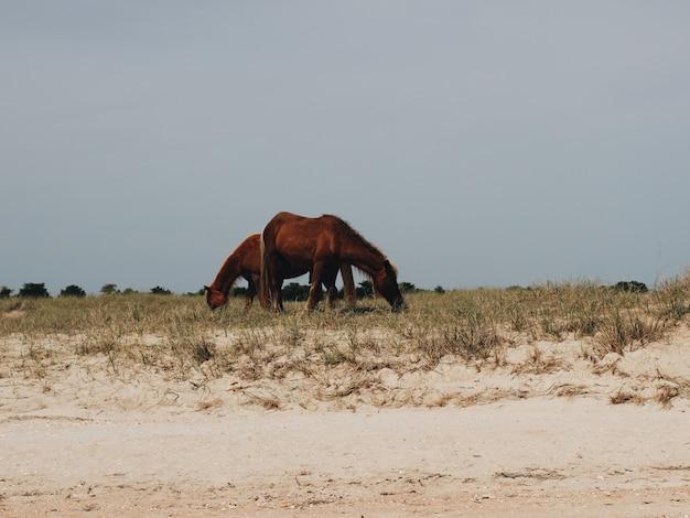 2頭の馬が草を食べる